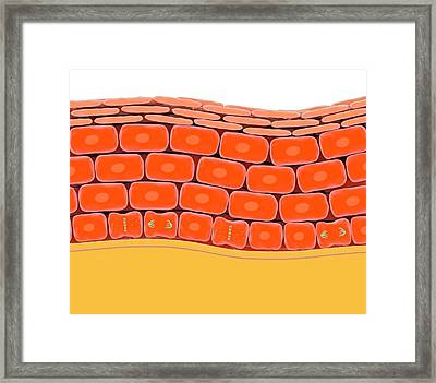 Cell Division In Normal Skin Framed Print by Science Photo Library