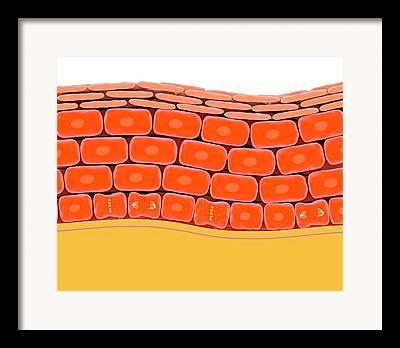Basal Layer Framed Prints