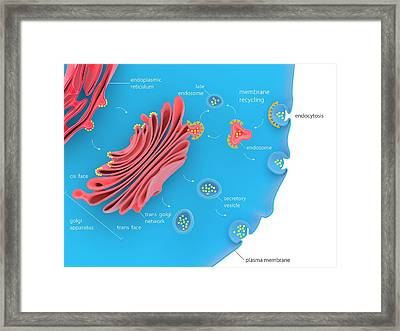 Cellular Protein Transport Framed Print by Science Photo Library
