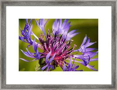 Centaurea Framed Print by Matt Dobson