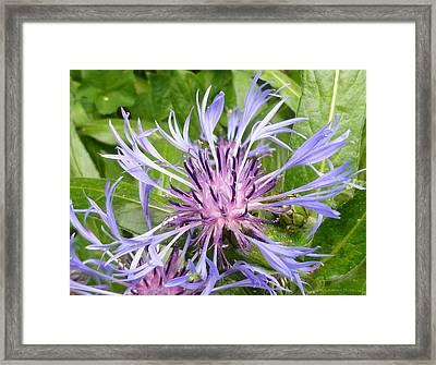 Centaurea Montana Blue Flower Framed Print by Lingfai Leung