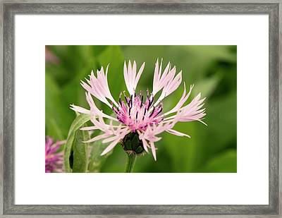 Centaurea Montana 'rosea' Framed Print by Adrian Thomas