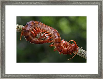 Centipede Malaysia Framed Print by Ch'ien Lee