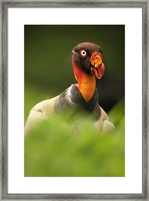Central America, Costa Rica, King Framed Print by Joe and Mary Ann Mcdonald