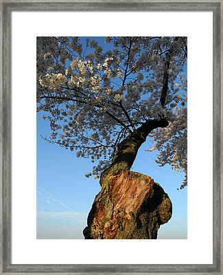 Framed Print featuring the photograph Century Old Sakura by Yue Wang