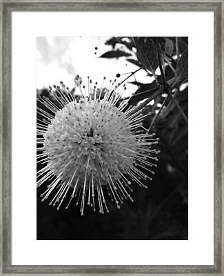 Cephalanthus Occidentalis In Black And White 2 Framed Print by K Simmons Luna