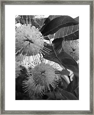 Cephalanthus Occidentalis In Black And White Framed Print