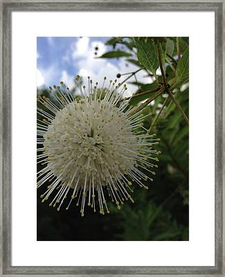 Cephalanthus Occidentalis The Button Bush  Framed Print