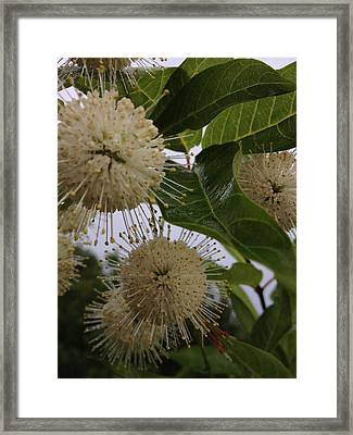 Cephalanthus Occidentals The Button Bush 2 Framed Print by K Simmons Luna