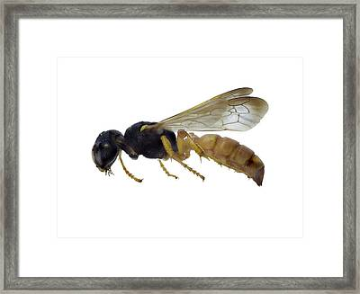 Cerceris Flaviventris Wasp Framed Print by F. Martinez Clavel