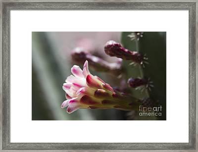Cereus Hexagonus Pink Framed Print by Sharon Mau