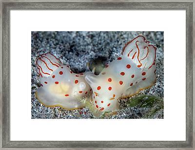 Ceylon Nudibranchs Framed Print