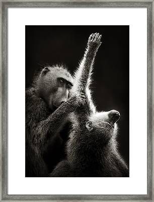 Chacma Baboons Grooming Framed Print