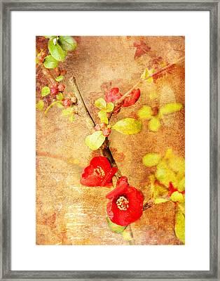 Chaenomeles Framed Print