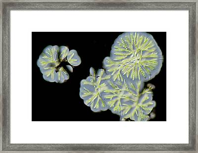 Chaerophora Freshwater Alga Framed Print by Gerd Guenther
