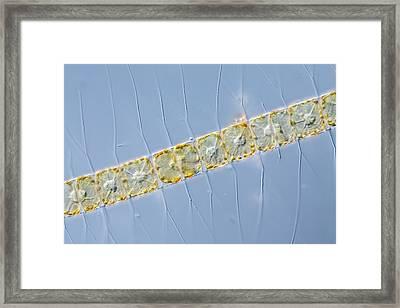 Chaetoceros Diatom Framed Print