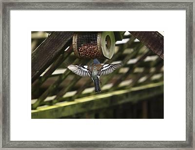 Chaffinch Feeding  Framed Print