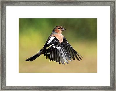 Chaffinch In Flight Framed Print