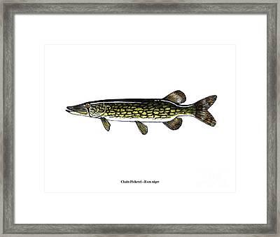 Chain Pickerel Framed Print