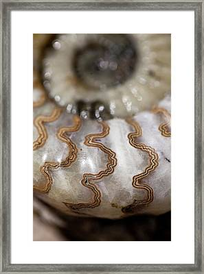 Chamber Sutures Of Ammonite Asteroceros Framed Print by Paul D Stewart
