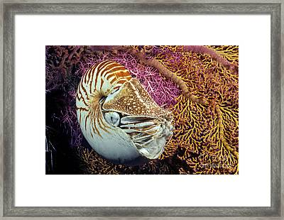 Chambered Nautilus _nautilus Pompilius__ Indonesia Framed Print by Dave Fleetham