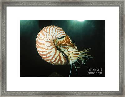 Chambered Nautilus Framed Print by Gregory G. Dimijian, M.D.