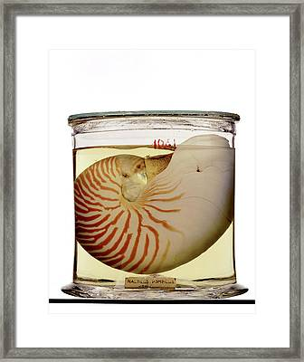 Chambered Nautilus Specimen Framed Print by Ucl, Grant Museum Of Zoology