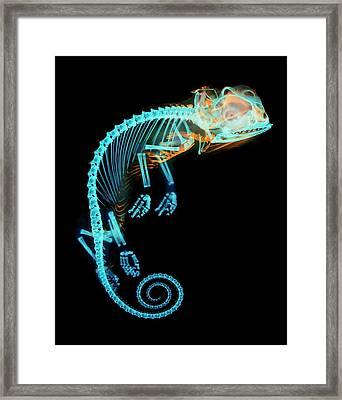 Chameleon Embryo Skeleton Framed Print by Dorit Hockman