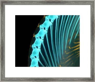 Chameleon Embryo Spine And Ribs Framed Print by Dorit Hockman