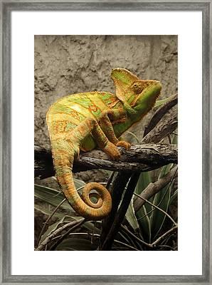 Chameleon Framed Print by Jim Hughes