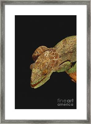 Chameleon On Tree Stump Framed Print