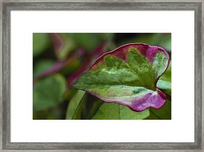 Chameleon Plant Framed Print
