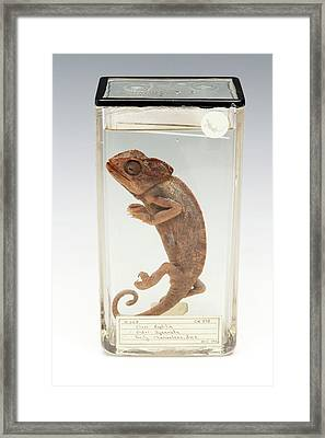 Chameleon Framed Print by Ucl, Grant Museum Of Zoology