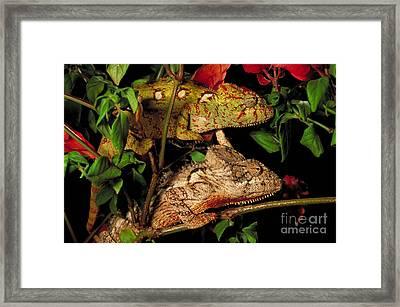 Chameleons Framed Print by Art Wolfe