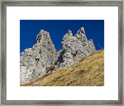 chamois in Alps Framed Print by Ioan Panaite