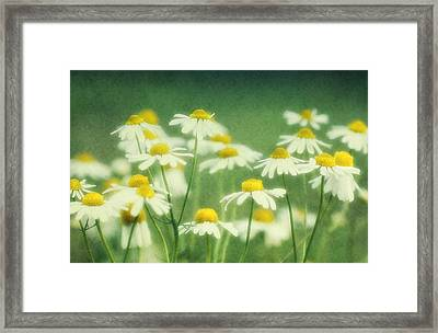 Chamomile Framed Print by Claudia Moeckel