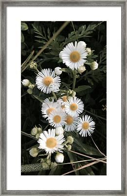 Chamomile Flowers. Framed Print