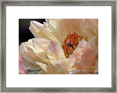 Champagne Peony Framed Print