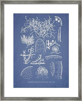 Champia Parvula Framed Print by Aged Pixel