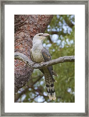 Channel-billed Cuckoo Fledgling Framed Print by Martin Willis