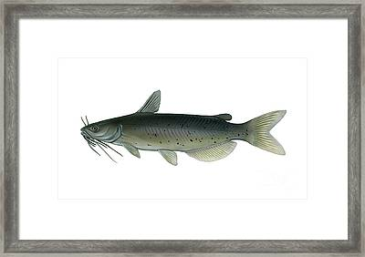 Channel Catfish Framed Print by Carlyn Iverson