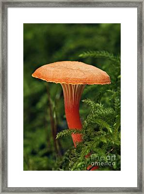 Chanterelle - D000172 Framed Print