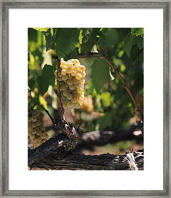 Chardonnay Grapes In Vineyard, Carneros Framed Print by Panoramic Images