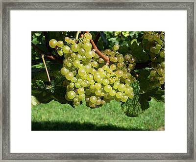 Chardonnay Grapes On Vine Framed Print by Panoramic Images