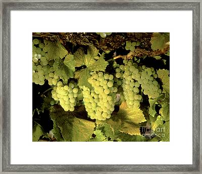 Chardonnay Wine Clusters Framed Print by Craig Lovell