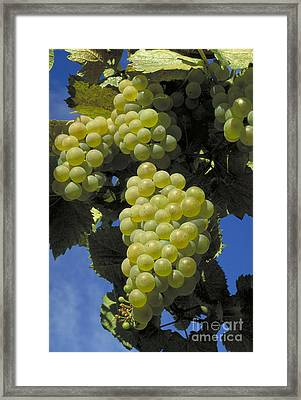 Chardonnay Wine Grapes Framed Print by William H. Mullins