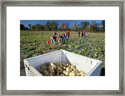 Charitable Use Of Leftover Crops Framed Print