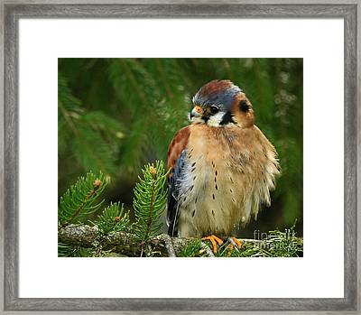 Charming By Nature American Kestrel Falcon.  Framed Print
