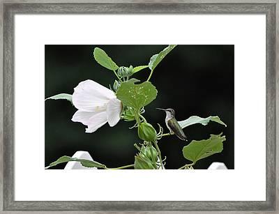 Charming Hummingbird Framed Print by Rob Hemphill