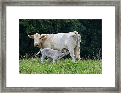 Charolais Cattle Nursing Young Framed Print